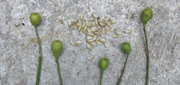 плодове и семена на пролетно блатно кокиче