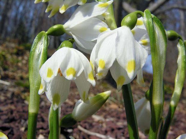 вид пролетно блатно кокиче