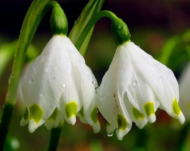 цветове на пролетно блатно кокиче