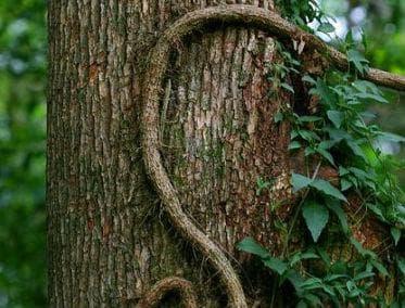 Котешкият нокът е енергична лиана, която пълзи към короната на дърветата