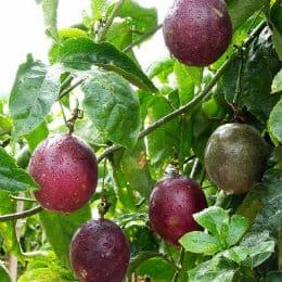 плодове лилава маракуя