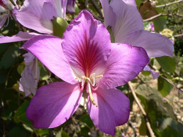 лилаво орхидеено дърво