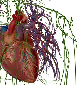 сърце и лимфни съдове