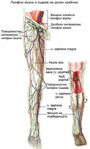 Лимфни възли и съдове на долен крайник