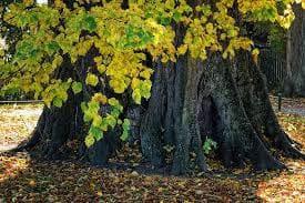липа дърво