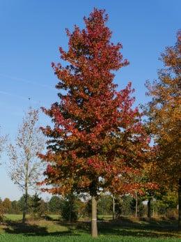 амброво дърво