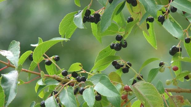 листа и плодове на макуй бери