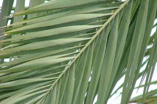 листа на финикова палма