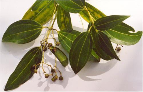листа на канелено дърво