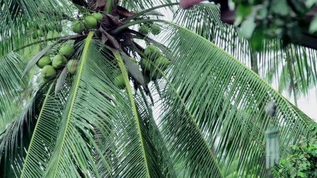 листа на кокосова палма
