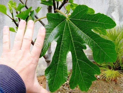 смокинови листа