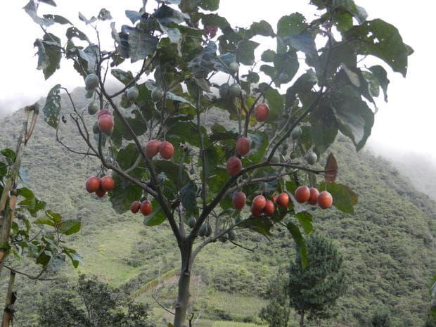 тамарило дърво
