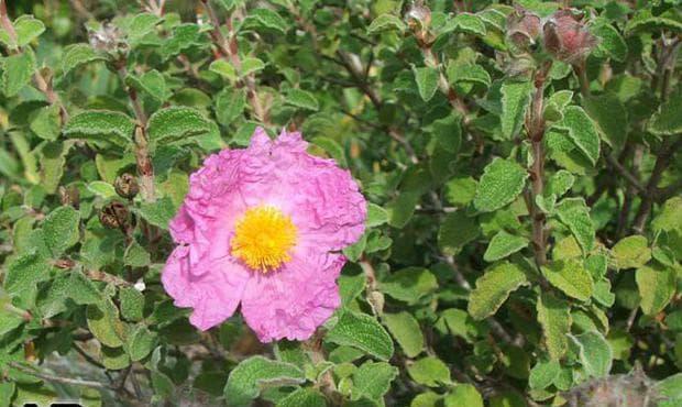 листа на скална роза