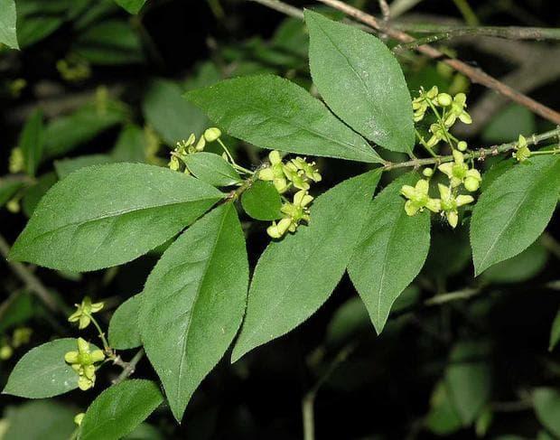 листа и плодове на огнен храст