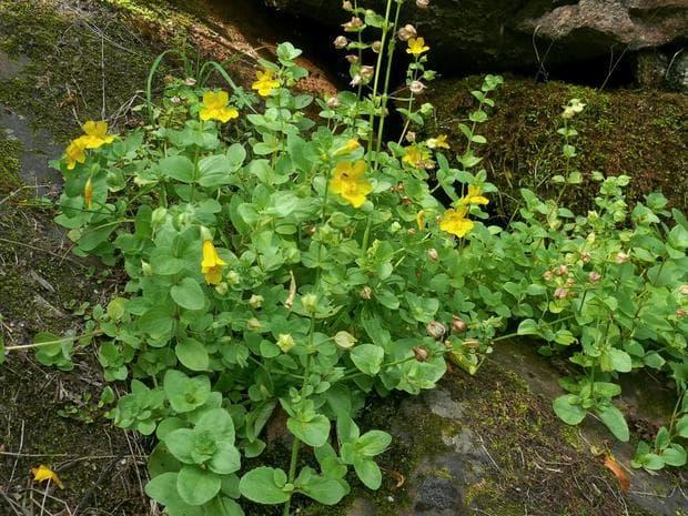 жълто маймунско цвете