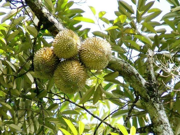 кора и листа на дуриан