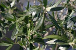 маслинови листа