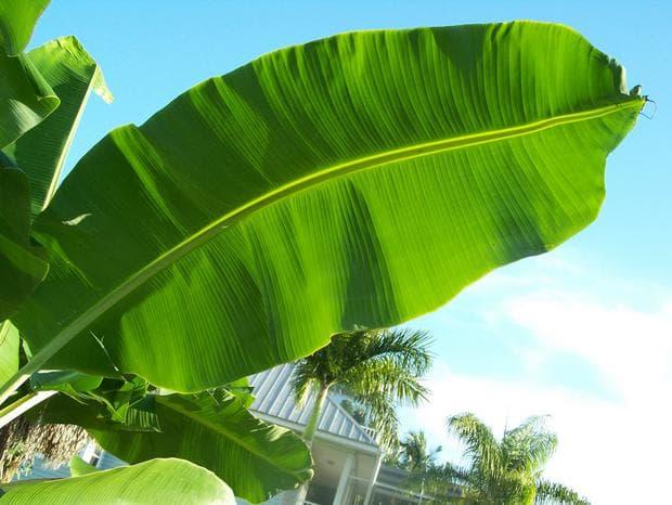 листо на банан