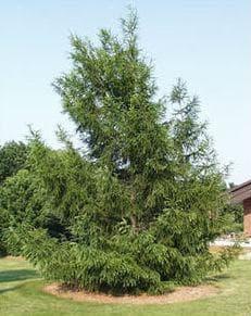 дърво европейска лиственица