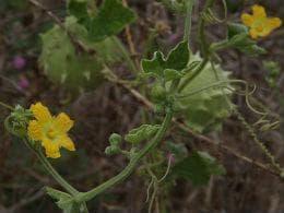 растение луфа оперкулата с листа и цвят