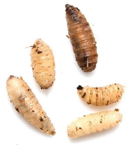Няколко вида личинки