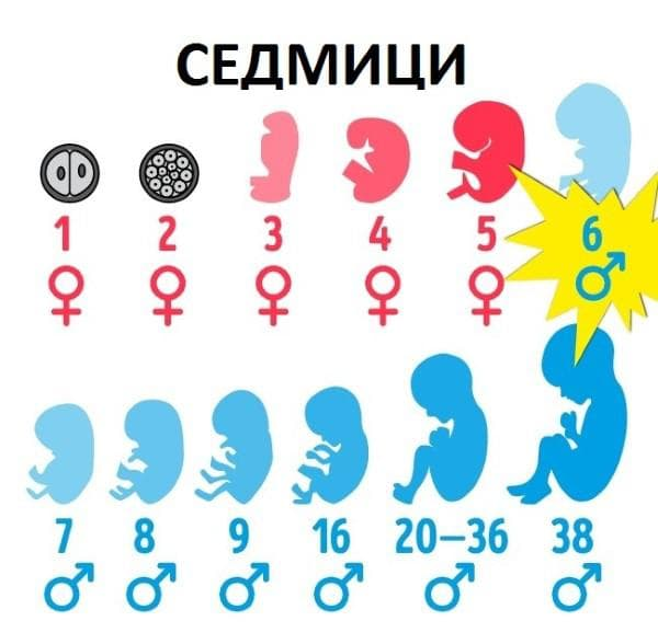 развитие на зародиша