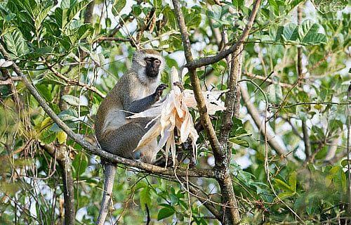 маймунче с царевица