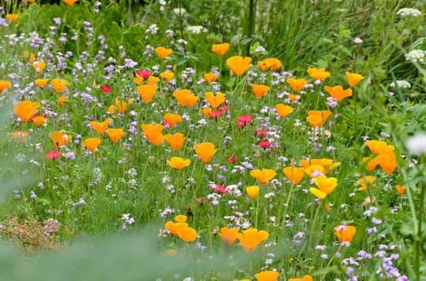 калифорнийски мак в цветна градина