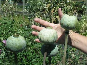 плодове на мак