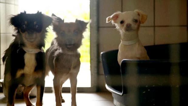 Кучета чихуахуа