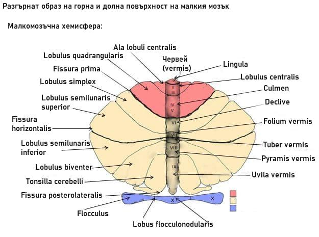 Малкомозъчни делчета