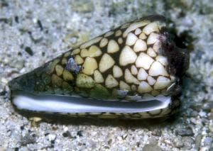 Мраморен конусовиден морски охлюв