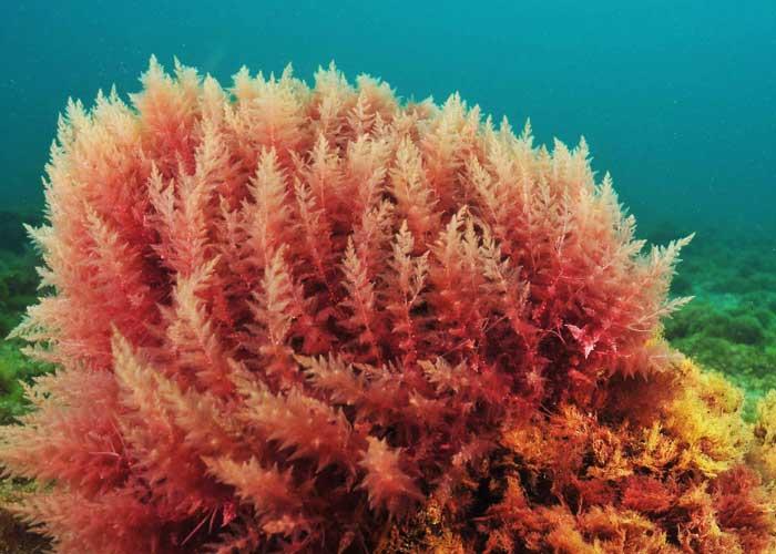 червени водорасли