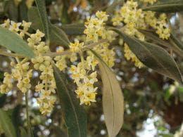 маслинови цветове