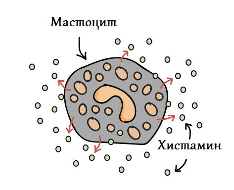 мастоцит