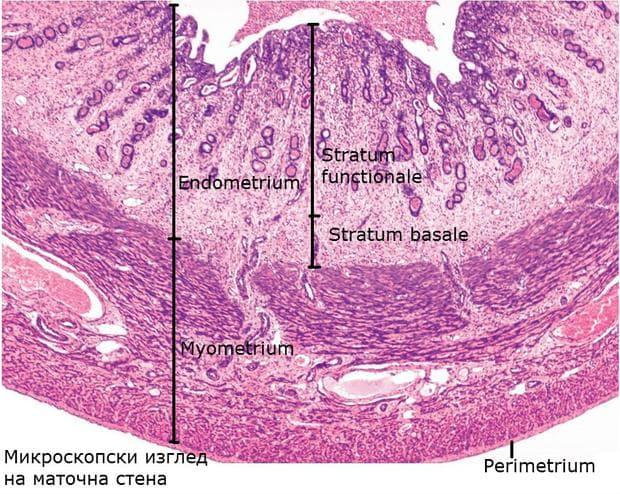 Хистологично устройство на маточна стена