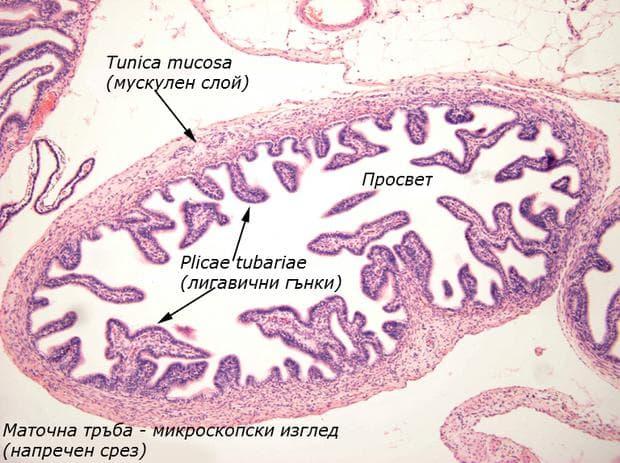 Микроскопски изглед на маточна тръба - напречен срез
