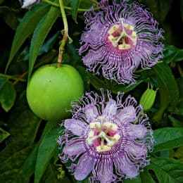 зелен плод на пасифлора