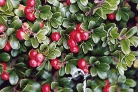 Мечо грозде (Arctostaphylos uva-Ursi)