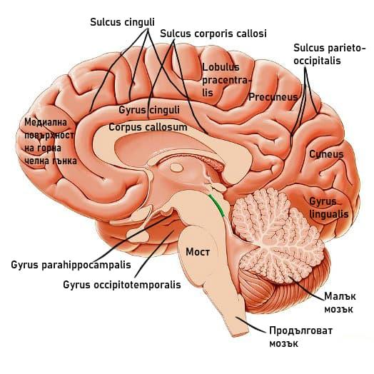 Медиална мозъчна повърхност