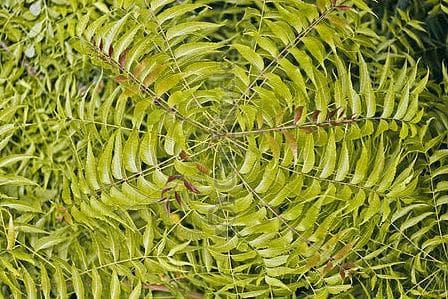 листна розетка от мелия