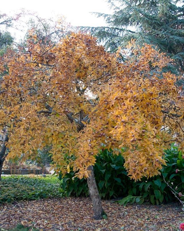мушмула през есента