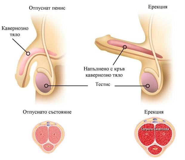 отпуснато състояние и ерекция на пениса