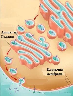 механизъм на регулирана екзоцитоза