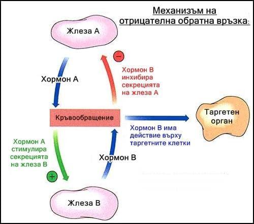 Механизъм на отрицателната обратна връзка