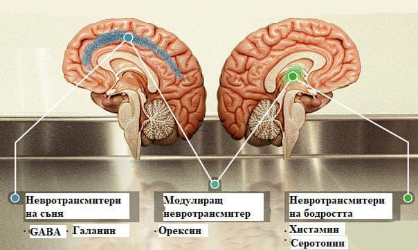 механизми на съня