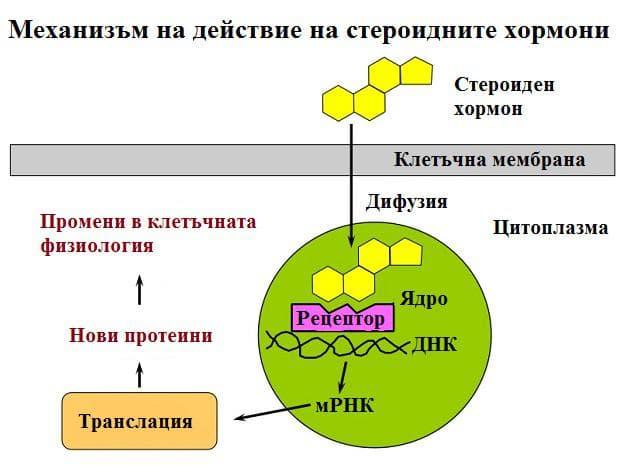механизъм на действие на стероидните хормони
