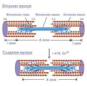 механизъм на мускулното съкращение