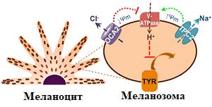меланоцит