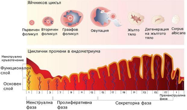Менструален и овариален цикъл